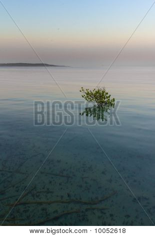 Mangrove Tree In Shallow Waters
