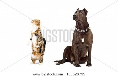 Staffordshire Terrier and curious cat Scottish fold