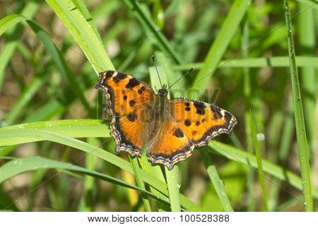 Butterfly urticaria in grass closeup
