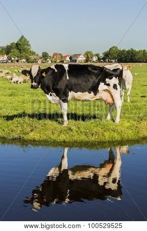 Cow And Ditch Reflection