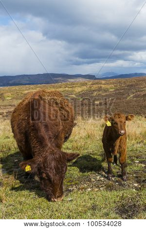 Two Cows On Isle Of Skye