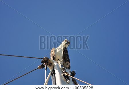 Osprey Perched on Top of Mast