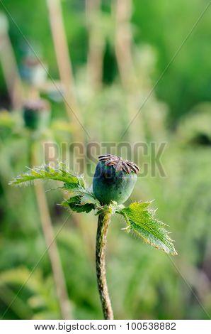 Growing Papaver Seed-head