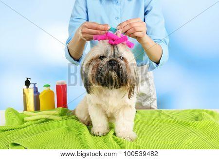 Cute Shih Tzu and hairdresser in barbershop