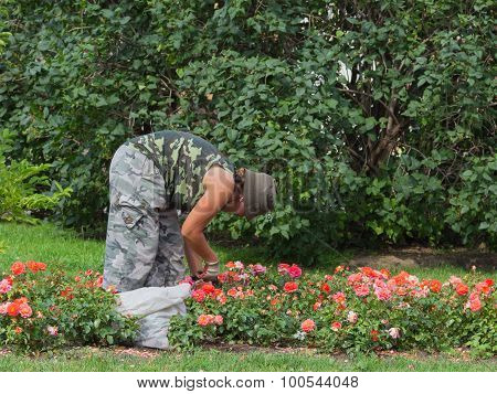 Woman Gardener Cares For Roses