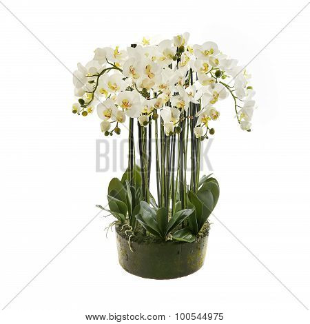 White orchid flower, phalaenopsis in a pot