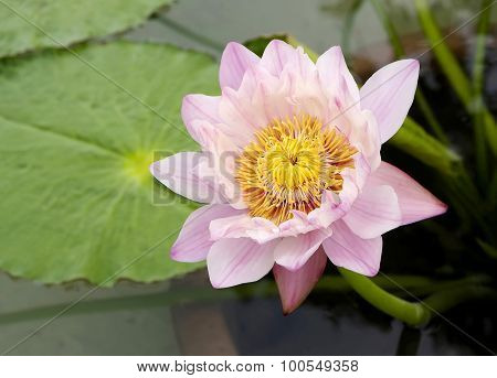 Thai Water Lily.