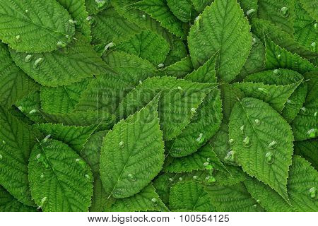 green raspberry leaf  background