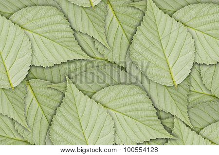 wrong side of the green raspberry leaf  background