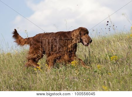 Beautiful Hunting Dog