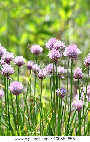 Purple Wild Leek Flowers