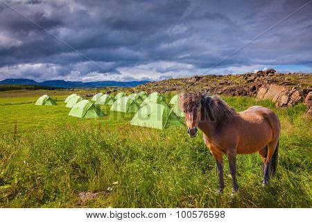 Summer holidays in Iceland. Magnificent Icelandic horse breed is about summer camp