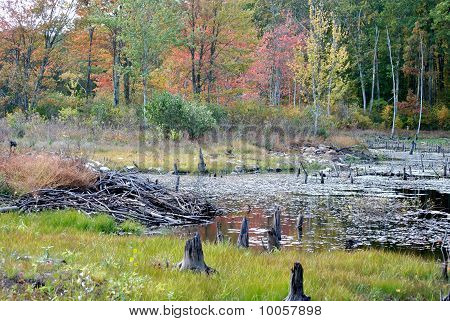 Fall Swamp with a Beaver Hut