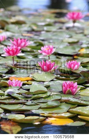 Water Lillies (nymphaeaceae)