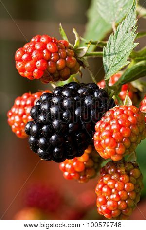Ripe And Unripe Blackberries In The Garden