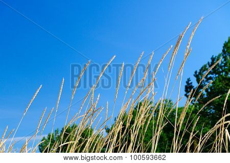 Beach Grass (ammophila Arenaria) Against Blue Sky