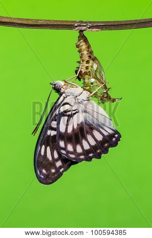 Blackvein Sergeant Butterfly