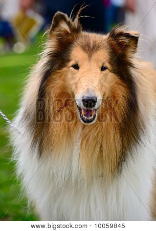 Portrait Of Sable And White Long-haired (rough) Collie Dog