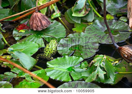 A Green Frog With Black Spots In An Overgrown Lily Pond