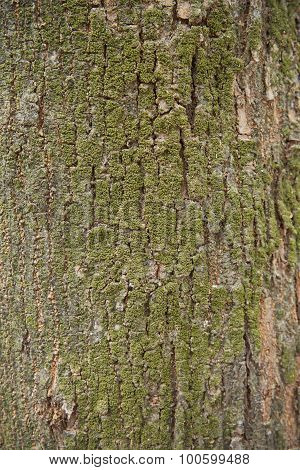 Beautiful Background Of A Large Tree Bark And Moss