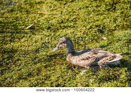 Wild duck floating in swamp.