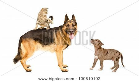 German shepherd, cat and pit bull puppy playing together