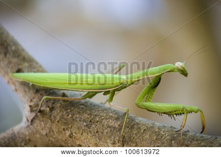 Praying mantis on branch