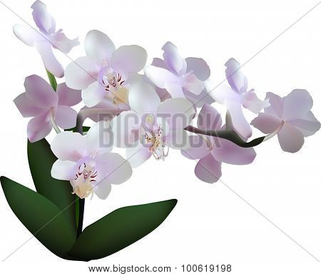 illustration with light lilac orchid on white background