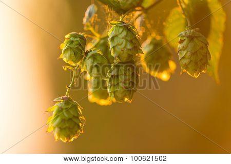 Detail of fresh hops cones