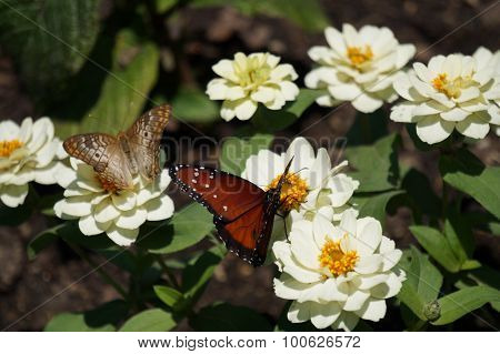 Queen Butterfly on a White Zinnia