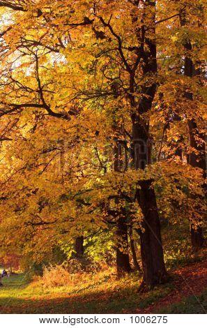 Onange Autumn Tree