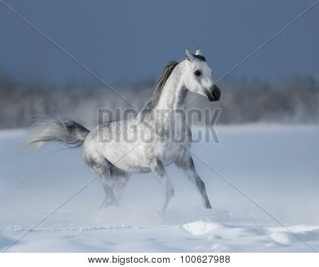 Galloping grey arabian horse on snow field