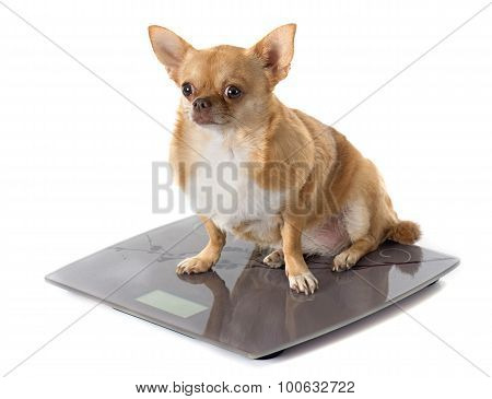 Bathroom Scales And Fat Dog
