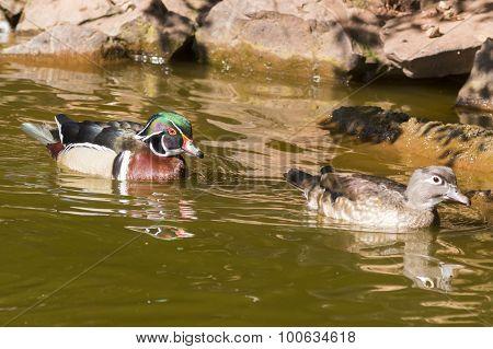 Carolina Wood Duck