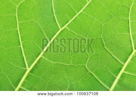 Fresh green leaf, close up