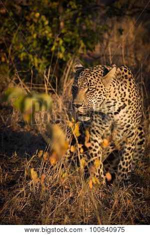 Leopard Resting In The Shade In The Bush During Morning