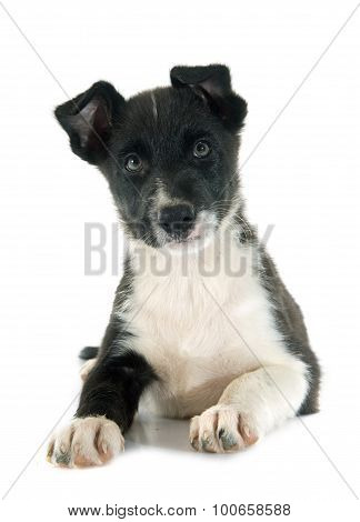 Puppy Border Collie