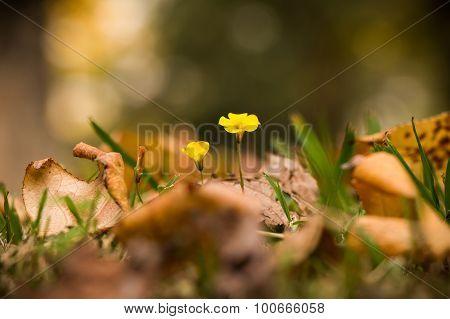 Oxalis Rubra Flower Between Autumn Leaves