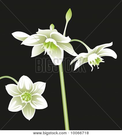 Flower White Eucharis