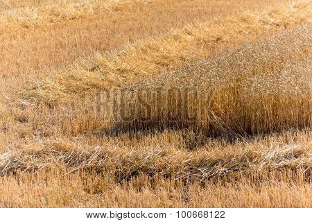 a cornfield with wheat just before harvest