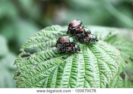 Japanese Beetles Mating