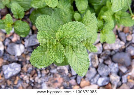 Bush Of Mint In The Mini Garden