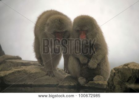 Snow monkeys macaque bathing in hot spring Nagano prefecture Japan
