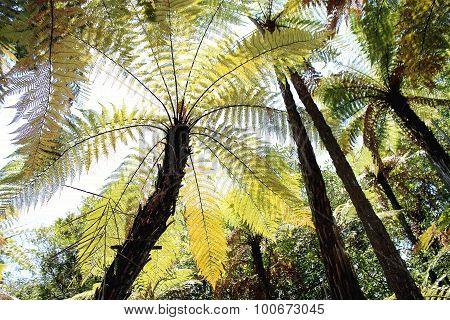 New Zealand Tree Fern