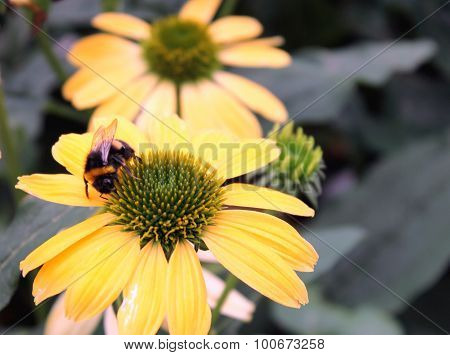 Bumble Bee On Echinacea Flower