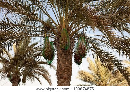 A palm tree with fresh ripe dates
