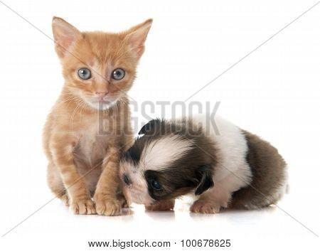 Puppy Shitzu And Kitten