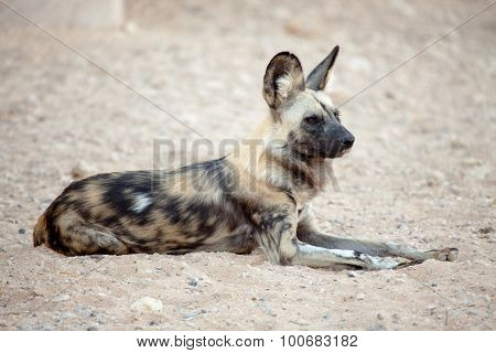 Hyena being alert