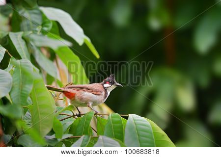 Beautiful Bird (red-whiskered Bulbul) Perching On Beautiful Bran