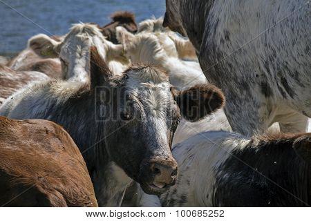 Closeup Cows